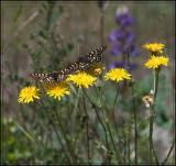 Anicia Checkerspots Butterflies