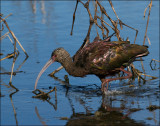 White-face ibis in winter plumage
