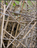 Marsh Wren and its nest.