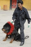 Tibetan Mastiff 023.jpg