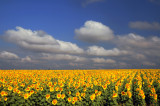 Sunflowers, 28.6.2008.