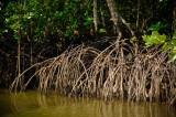 39 Mangrove.jpg