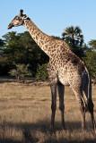 Male Giraffe