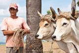 Tobacco Farmer with Oxen