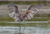 Roodhalsreiger - Reddish Egret - Egretta rufescens