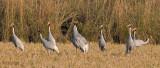 Saruskraanvogel - Sarus crane - Grus antigone