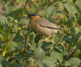 Pagodespreeuw - Brahminy Starling - Sturnus pagodarum