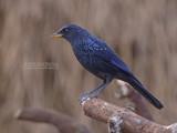 Chinese Fluitlijster - Blue Whistling Thrush - Myophonus caeruleus