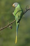 Grijskopparkiet - Slaty-headed Parakeet - Psittacula himalayana