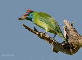 Blauwkeelbaardvogel - Blue-throated Barbet - Megalaima asiatica
