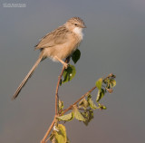 Gewone Babbelaar - Common Babbler - Turdoides caudatus
