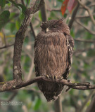 Bruine Visuil - Brown fish owl - Ketupa zeylonensis