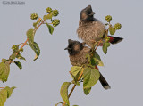 Roodbuikbuulbuul - Red-vented Bulbul - Pycnonotus cafer