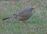 Jungle Babbelaar - Jungle Babbler - Turdoides straitus