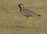 Indische Kievit - Red-wattled Lapwing - Vanellus indicus