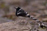 Gevlekte vorkstaart - Spotted Forktail  - Enicurrus maculatus