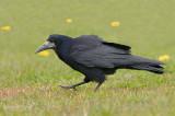 Roek - Rook - Corvus frugilegus