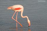 Flamingo - Greater Flamingo - Phoenicopterus Ruber