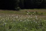 Daisies and Other Wildflowers