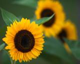 Sunflower 2009 #2
