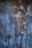 Winter Evening Goldenrod #1