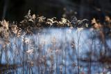 Winter Evening Goldenrod #2