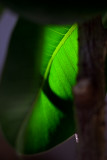 Rubber Tree Plant Leaf Backlit