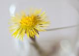 Study of a Little Yellow Flower #4