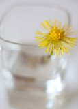 Study of a Little Yellow Flower #6