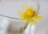 Study of a Little Yellow Flower #5