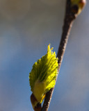 Opening Birch Leaf Bud #2