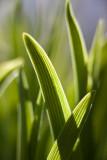 Tulip Leaf? #1