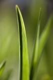 Tulip Leaf? #2