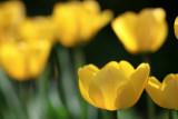 Frank's Tulips 2010 #2