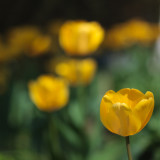 Frank's Tulips 2010 #9