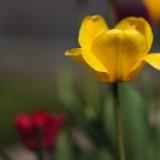 Franks Tulips 2010 #12
