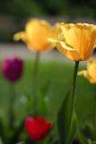 Frank's Tulips 2010 #13