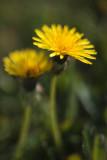 Dandelion Pair