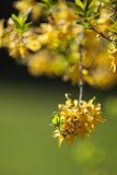 Forsythia Branch End