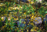 Fallen Forsythia Flowers