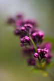Lilac Buds #1