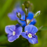 Germander Speedwell Pair #3