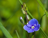 Germander Speedwell #1