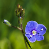 Germander Speedwell #3