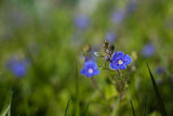 Germander Speedwell #5