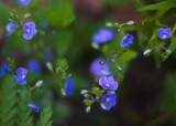 Germander Speedwell Group #1
