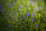 Germander Speedwell Group #2