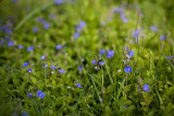 Germander Speedwell Group #3