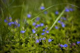 Germander Speedwell Group #4