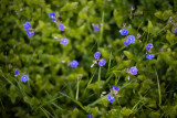 Germander Speedwell Group #5